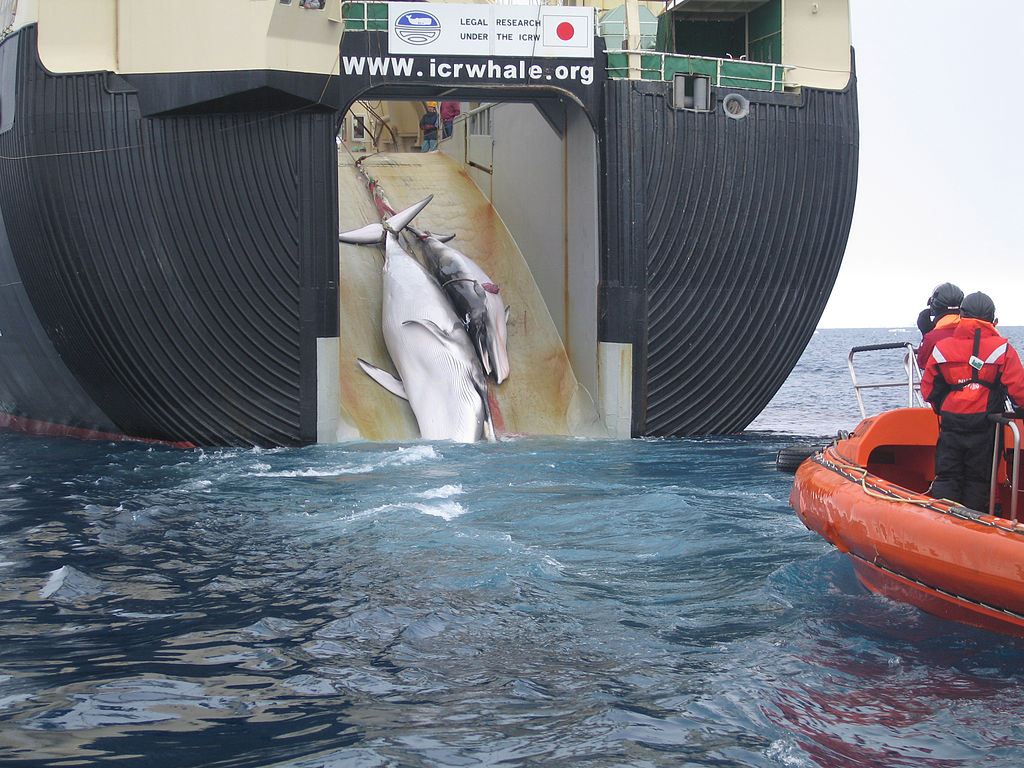 whaling Warning: you are about to view graphic raw footage from whale wars: season 2 showing a minke whale being harpooned and shot by japanese whalers whale wars 4 begins friday 30th march at 9pm only.